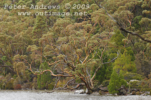 The shoreline of Lake Dobson, Mt Field National Park. Photo copyright Peter Andrews.