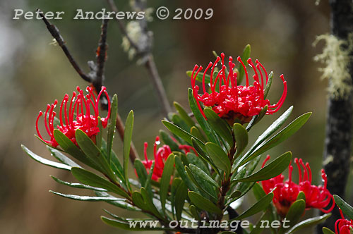 NativeWaratah flowers, Lake Fenton, Mt Field National Park. Photo copyright Peter Andrews.