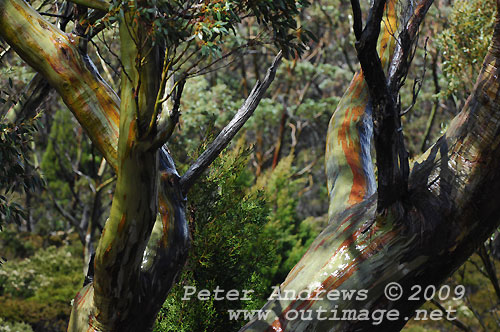 Sub-alpine woodland, Mt Field National Park. Photo copyright Peter Andrews.