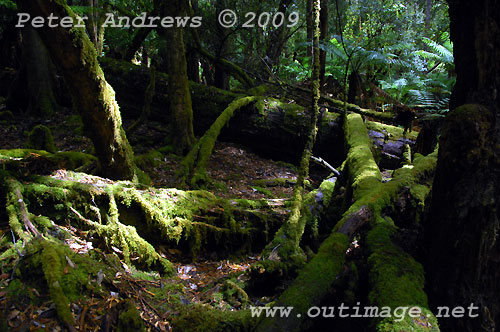 Moss covered limbs beside the track to Russell Falls, Mt Field National Park. Photo copyright Peter Andrews.
