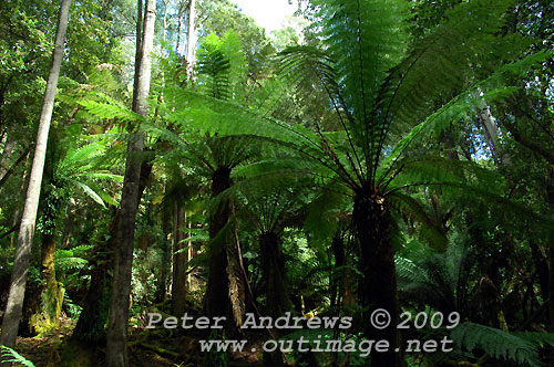 Tree ferns and Swamp Gums beside the track to Russell Falls, Mt Field National Park. Photo copyright Peter Andrews.