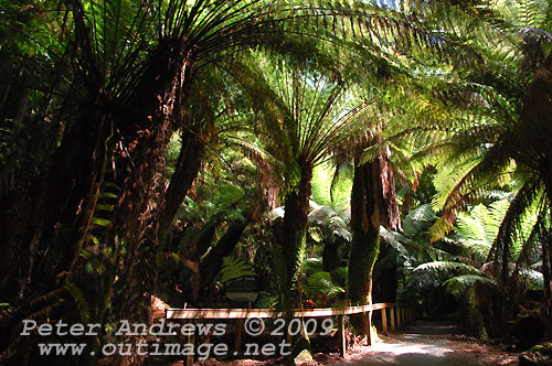 Tree ferns beside the track to Russell Falls, Mt Field National Park. Photo copyright Peter Andrews.