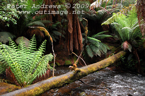 A fallen log over the stream and ferns beside the track to Russell Falls, Mt Field National Park. Photo copyright Peter Andrews.
