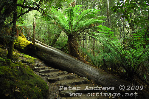 The track up from Russell Falls to Horseshoe Falls, Mt Field National Park. Photo copyright Peter Andrews.