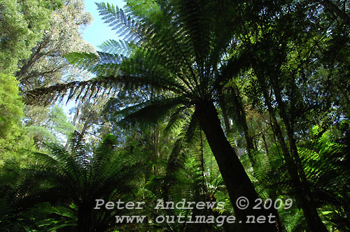 A canopy of tree ferns along the Tall Trees Circuit track, Mt Field National Park. Photo copyright Peter Andrews.