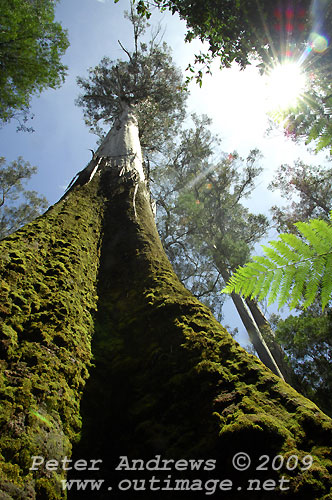 At the base of the highest tree in Mt Field National Park, Tasmania, Australia. Photo copyright Peter Andrews.
