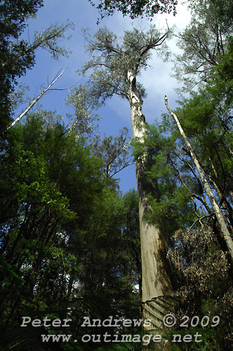 The tallest flowering plants on the planet, the Swamp Gum, along the Tall Trees Circuit track, Mt Field National Park. Photo copyright Peter Andrews.