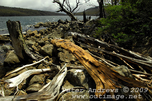 Driftwood, Lake Fenton, Mt Field National Park. Photo copyright Peter Andrews.