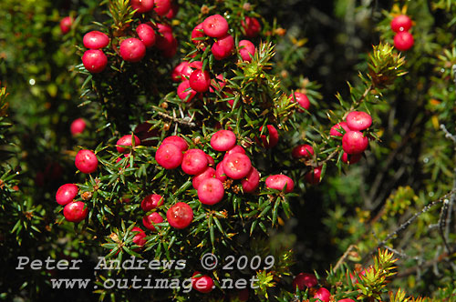 Native berries, Lake Fenton, Mt Field National Park. Photo copyright Peter Andrews.