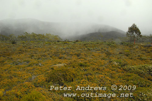 Wombat Moor with snow falling over the Mawson Plateau in the background, Mt Field National Park. Photo copyright Peter Andrews.
