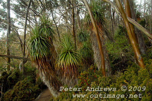 The Pandani Grove beside Lake Dobson, Mt Field National Park. Photo copyright Peter Andrews.