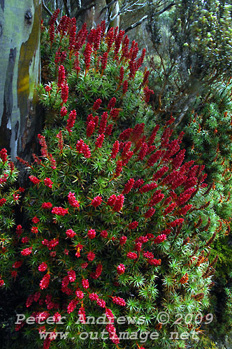 Native flowers in the sub-alpine area near Lake Dobson, Mt Field National Park. Photo copyright Peter Andrews.