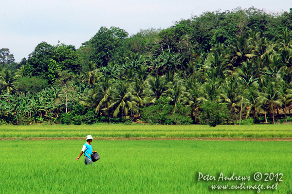 Fertilizing rice by hand near Barangay, Cotabato Province, Mindanao, Philippines. Photo copyright Peter Andrews, Outimage Australia.