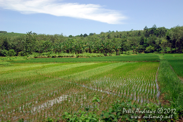 Rice paddies near Barangay, Cotabato Province, Mindanao, Philippines. Photo copyright Peter Andrews, Outimage Australia.
